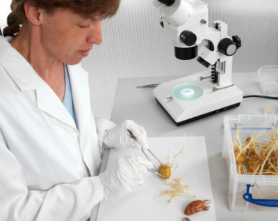 Laboratory work with genetical modificated potatoes